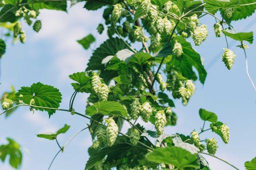 ※遠野市で栽培をしているホップはビールの重要な原材料です