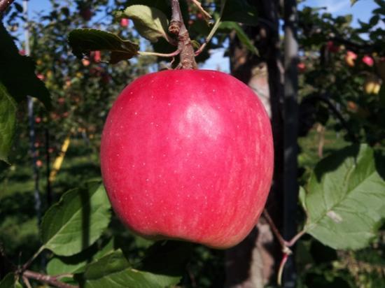 道産子りんご!やや酸味が勝りますがとてもジューシ-で人気のりんご!