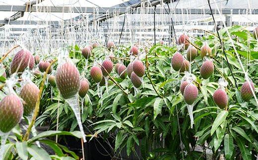 【根域制限栽培】という技術で栽培する「サムライファーム西都」