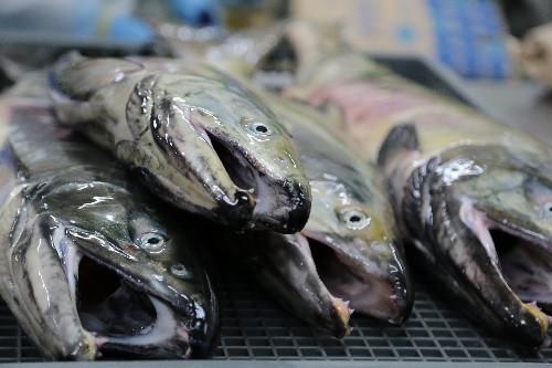 新鮮なオス鮭のみの選別