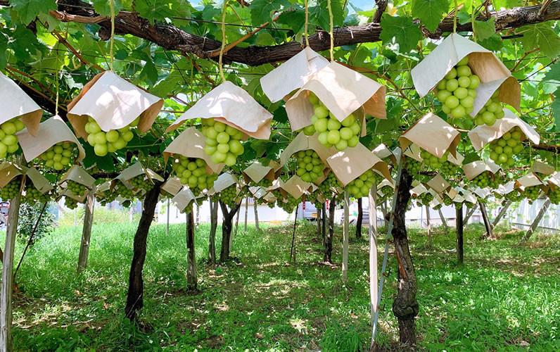 農業生産法人 株式会社 I JAPANのぶどう園です。