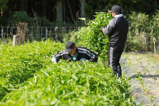 空心菜の収穫風景