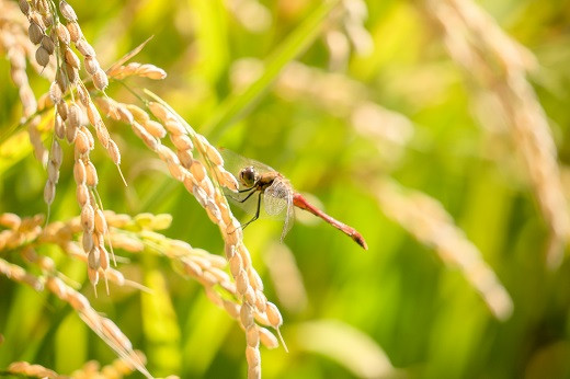 稲と赤トンボ