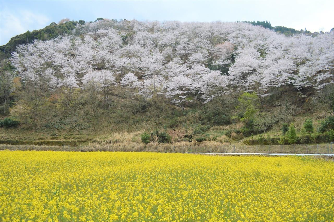 住民の皆さんが植えた2,500本の桜が春になると咲き誇ります。
