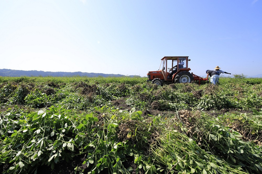 トラクターに装着した専用の掘り取り機で収穫