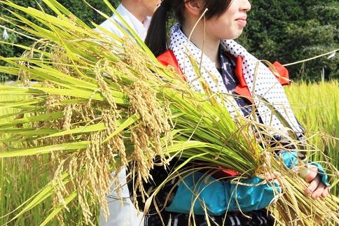 大嘗祭に奉納される献穀米の抜穂式の時の様子