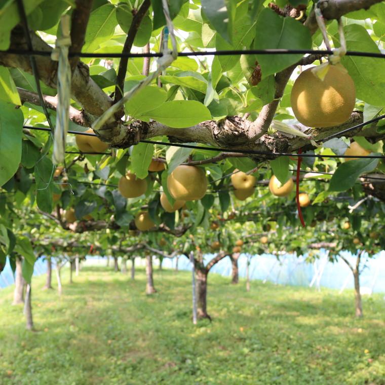九十九里南端の温暖な気候で美味しい梨がすくすくと育ちます♪