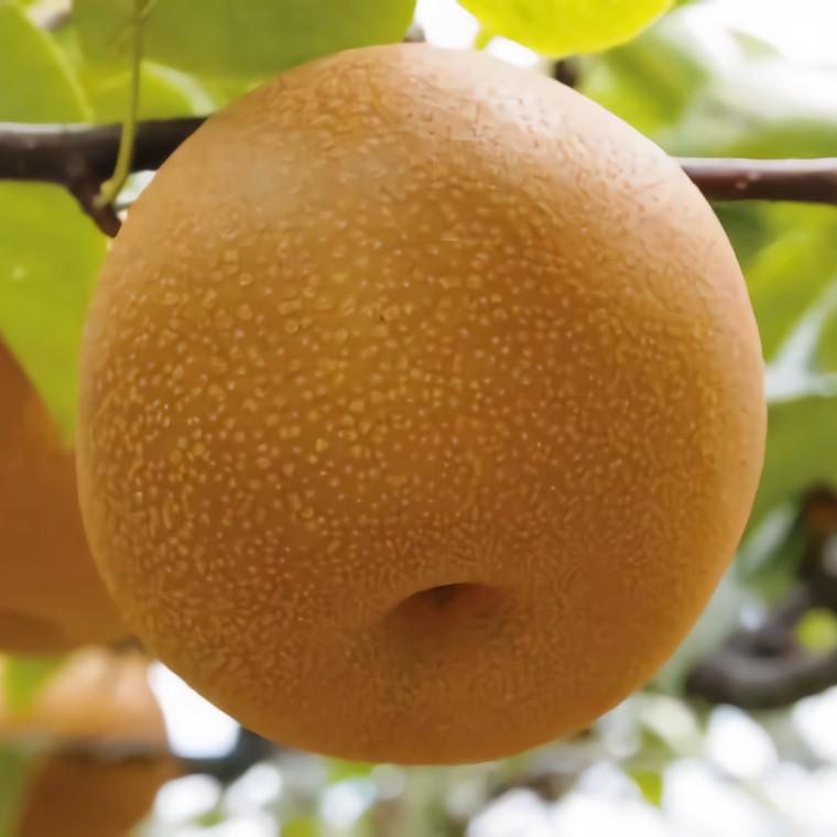 いすみ市の幸水梨は、日本でも有数の早出産地です。