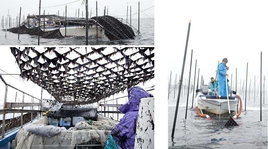 海苔の収穫は、もぐり船(左上、左下)と吸い込み式(右)の2種類。