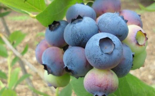 甘酸調和の大粒ブルーベリーを朝穫り!!