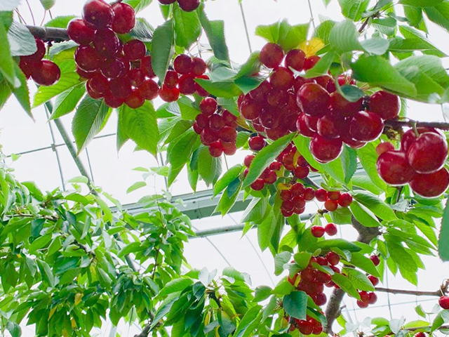 最北の果樹産地の日差しを浴びた佐藤錦!を1.2kgお届けします!