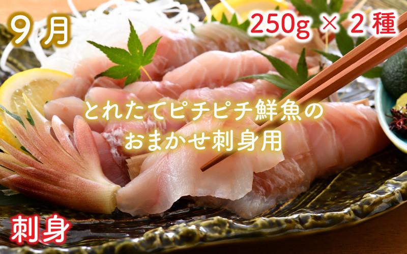 9月 とれピチ鮮魚のおまかせ刺身用 250g×2種