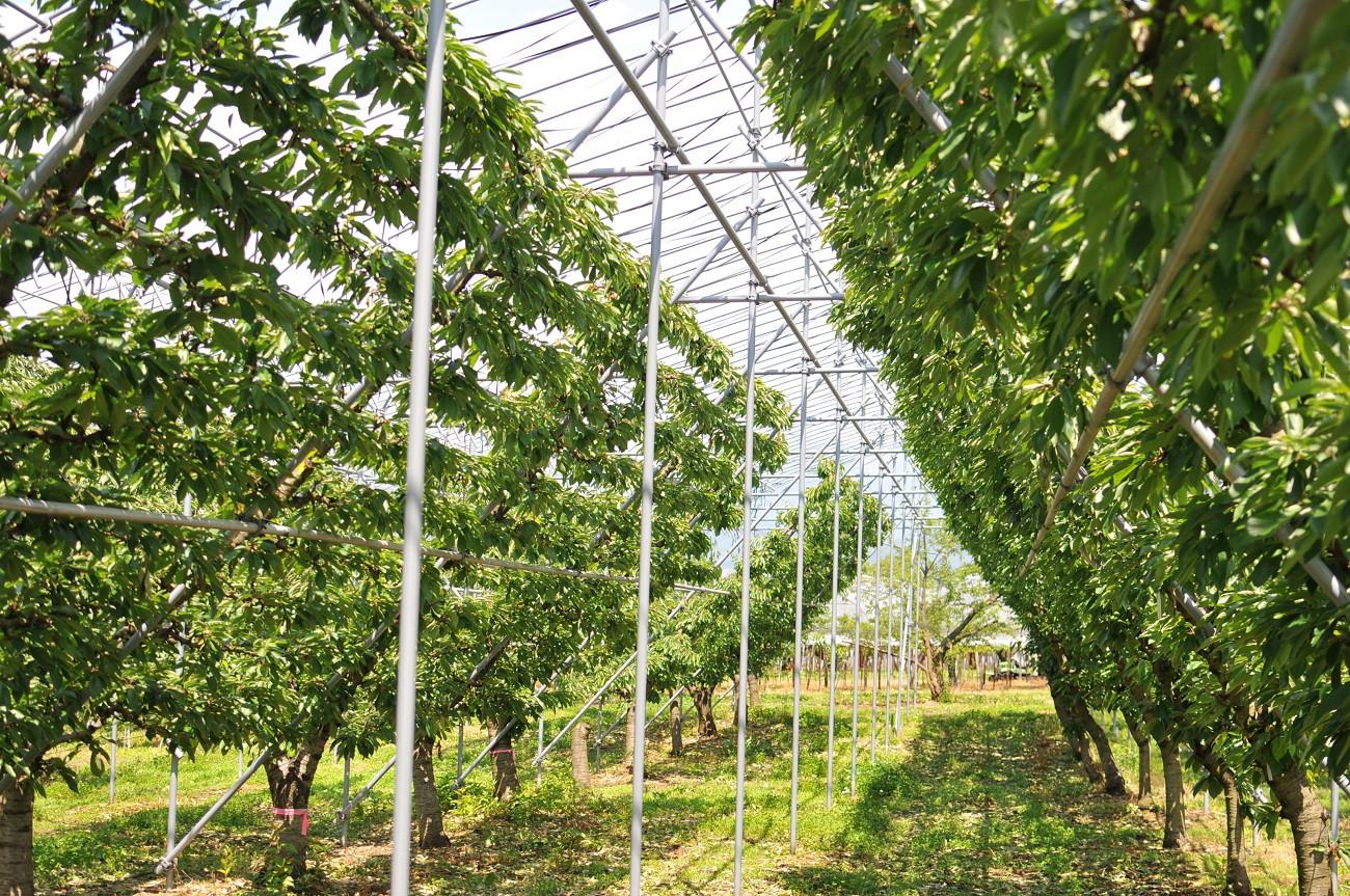 Y字仕立てで栽培されている遠藤果樹園のさくらんぼ