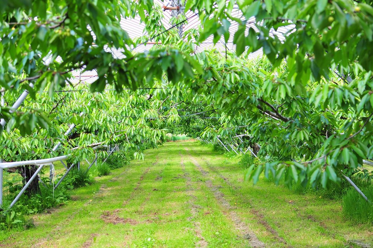 例年、多くの実がなるさくらんぼ。今年は一粒もならない木も…。