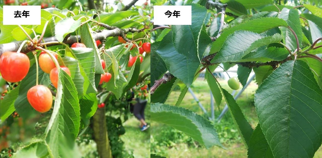 去年と今年で枝になるさくらんぼの実の量が大きく違っています
