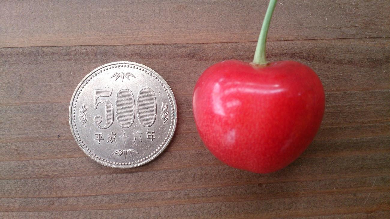 大きな果実と肉厚な果肉が特徴の上山発祥品種のさくらんぼ「大将錦」