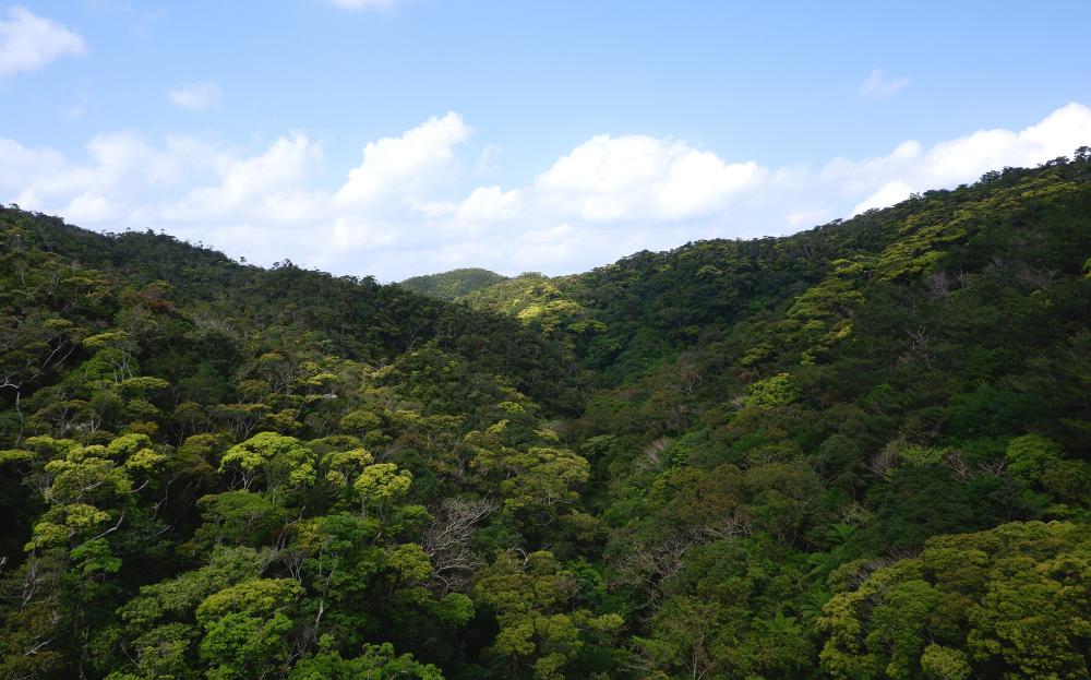 ブロッコリーの木(イタジー)が生い茂るやんばるの森