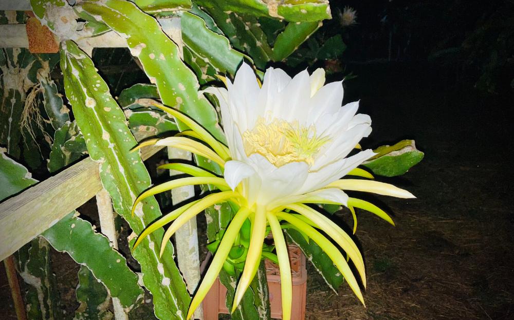 一夜しか咲かないため生産者は真夜中に受粉の作業をおこないます。