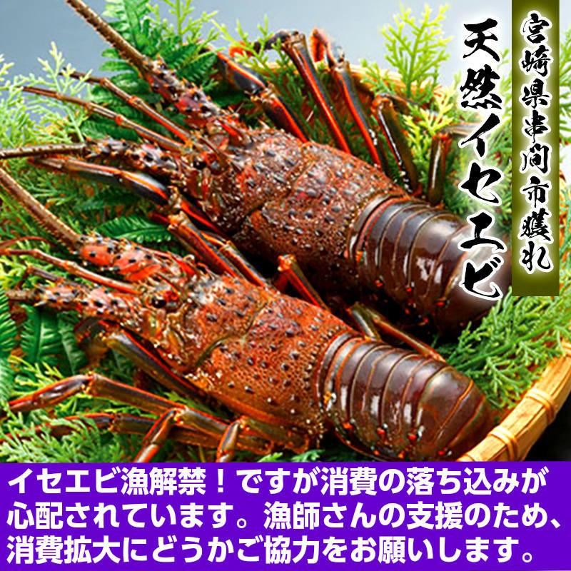 今年も9月にイセエビ漁解禁! 新鮮獲れたてをお届けします!