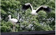 6月4日に2羽のコウノトリを放鳥しました!