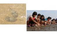 生きている化石カブトガニの保護育成に努めています