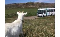 離島観光バス「グランシマール」にヤギも喜ぶ!?