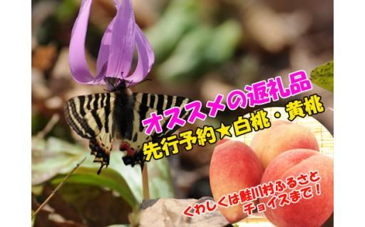 【鮭川村】春の妖精・ギフチョウ&ヒメギフチョウ
