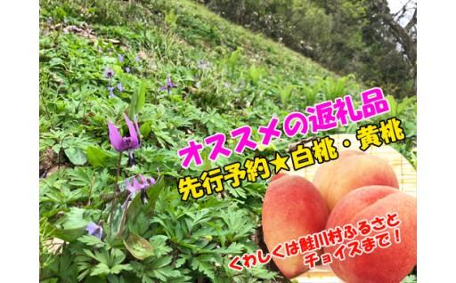 【鮭川村】5月満開のカタクリ・自然保護に向けて