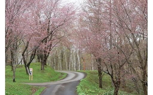 「ないえ桜まつり」が開催されました!!