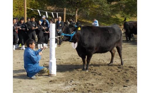 松阪牛チャンピンの栄冠はどの牛に輝くか・・?!