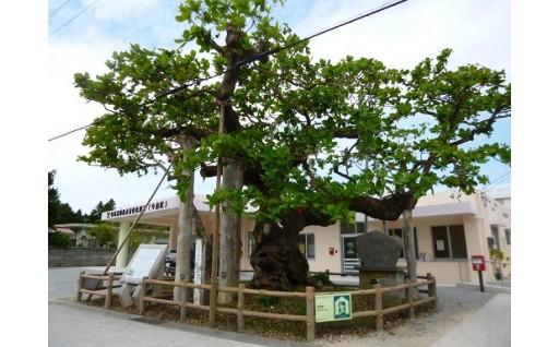 今泊コバテイシ樹木回復事業