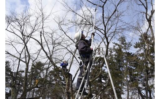 桜の剪定作業が行われています