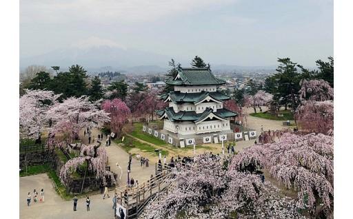 弘前公園の桜が満開になりました!