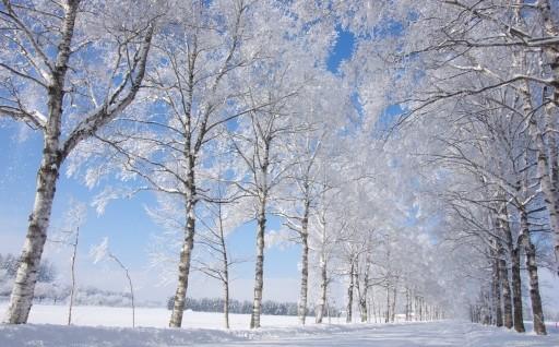 映画やドラマのロケ地になっている白樺並木の整備を
