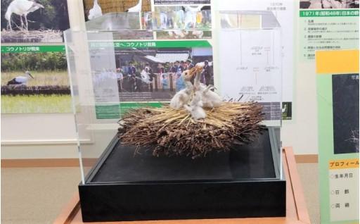 【福井県越前市】コウノトリのはく製を展示