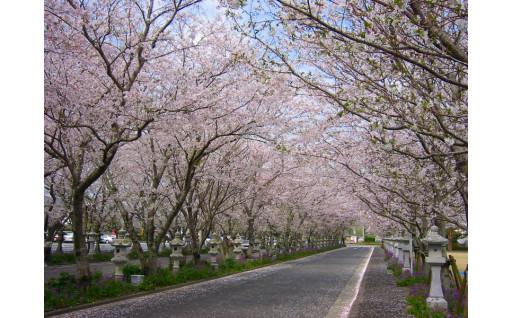 知覧平和公園「桜」の保存対策を行いました