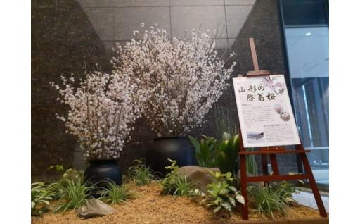 冬に咲く桜「啓翁桜」を展示しました