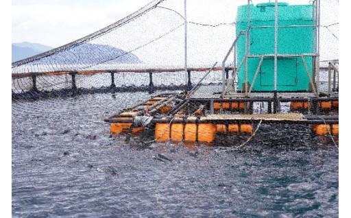 戻りつつある漁場「大槌のサーモン・銀鮭」