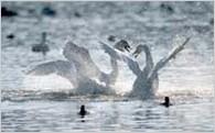 1. 白鳥の瓢湖、五頭連峰、阿賀野川など、豊かな自然環境を守り育てる
