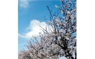 宮代の桜を大きく育てていく事業