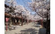 4.新庄宿の景観及びがいせん桜に関する事業