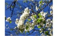⑤ 天然記念物、長池のマメナシ・アイナシ自生地の保護育成を図ります。