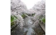 【特別プロジェクト】次世代につなごう岩倉五条川の桜並木保全プロジェクト~あなたも岩倉五条川の桜を守る応援団~