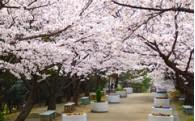 ⑧桜の愛護・保全・植栽事業
