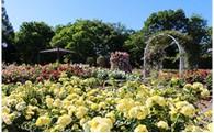 ●バラで伊奈町をPR!バラのまちづくり