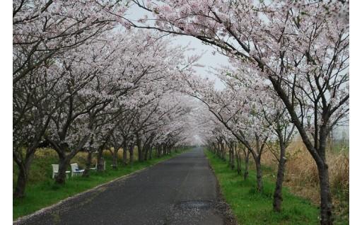 10.桜並木の保全 (川副桜ロード)