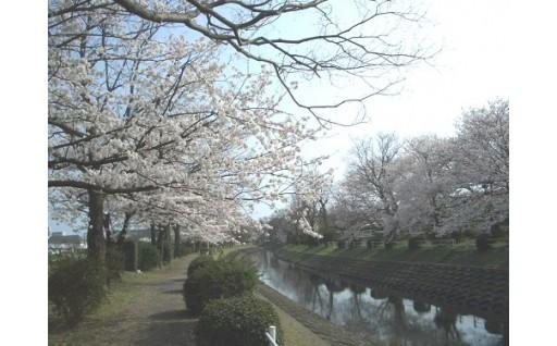 9.桜並木の保全 (多布施川桜道)