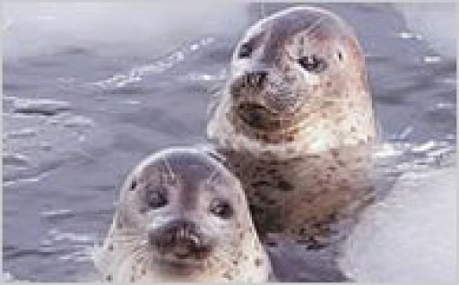 1.アザラシの保護活動等のオホーツク海の海洋環境に関する事業