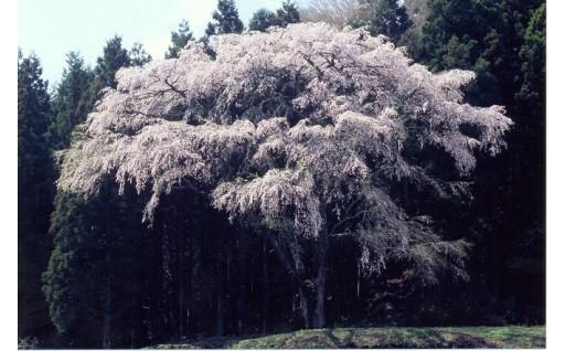 町立公園の環境整備と枝垂桜保存プロジェクト