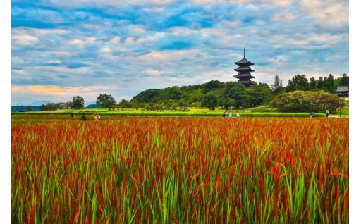 個別事業14:日本で3か所古代米『赤米』